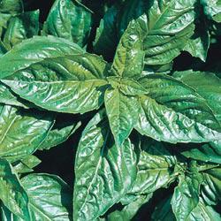 Large-Leaf Italian Basil Herb