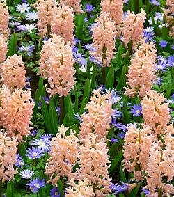 SOLD OUT Hyacinth Gypsy Queen and Anemone Blanda Blue Shades Collection - 35 bulbs