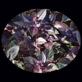 Basil - Dark Purple Opal