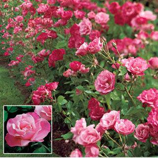 Simplicity® Pink Hedge Rose