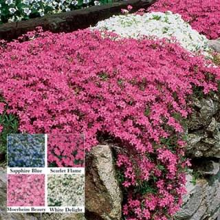 Scarlet Flame Carpet Phlox