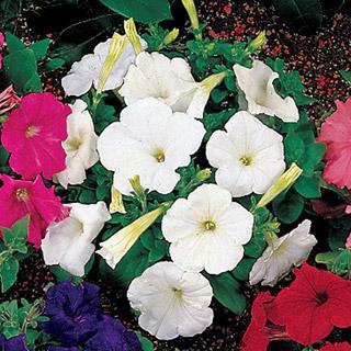Petunia Celebrity White