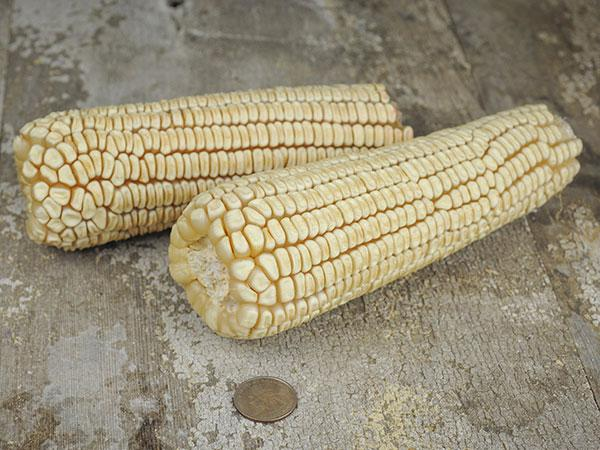 Thompson Prolific Dent Corn
