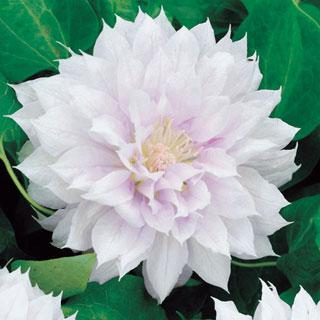 Belle of Woking Clematis Virgin's Bower Plant