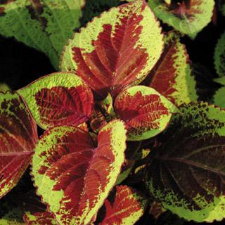 Coleus Versa Burgundy to Green