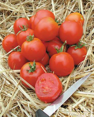Stupice Tomato Conventional & Organic
