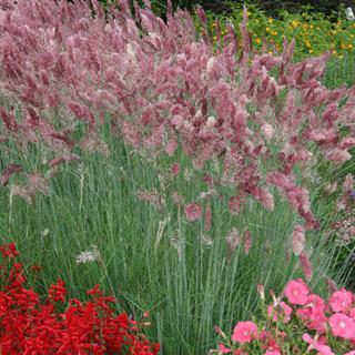 Ornamental Grass Melinis Savannah