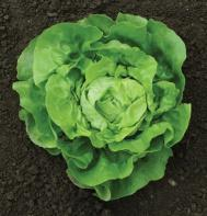 Dancine (Pelleted) Butterhead Lettuce