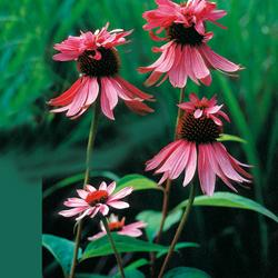 Echinacea - purpurea' Double Decker '