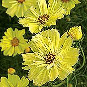 Yellow Garden Cosmos