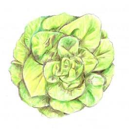 Big Boston Lettuce