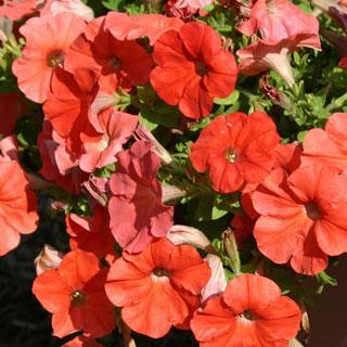 Orange Flash Sweetunia® Petunia Plants