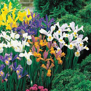 Wayside's Superior Dutch Iris Mix Bulb - Pack of 10