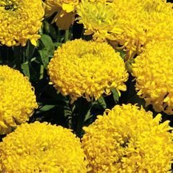 Marigold e.'Lemon Mum'