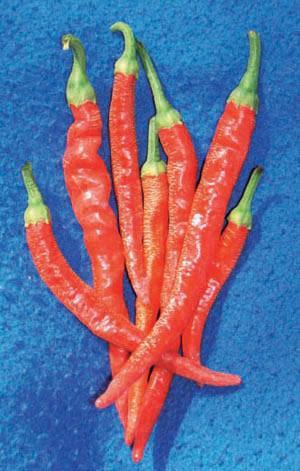 Pepper, Cayenne Long Slim, Hot, Organic