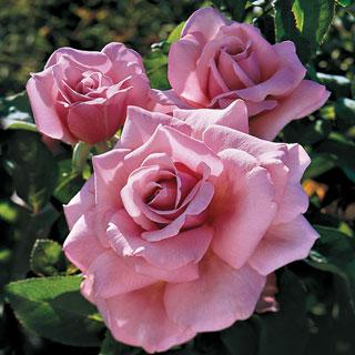 Memorial Day 36-inch Patio Tree Rose