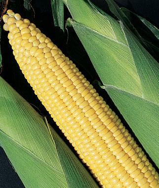 Corn, Early And Often  Hybrid