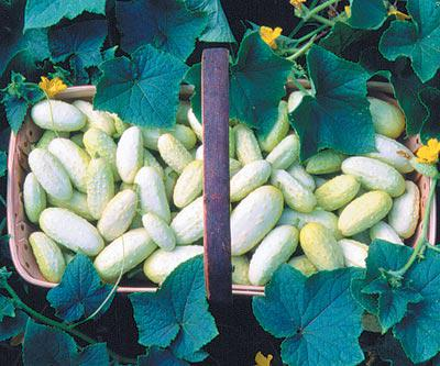 Miniature White Cucumbers