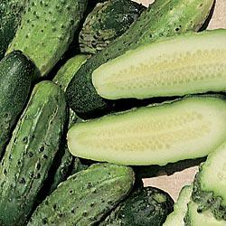 Miss Pickler Hybrid Pickling Cucumber