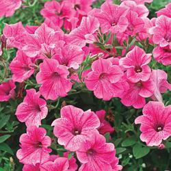 Petunia - Rose Vein Velvet F1 Hybrid
