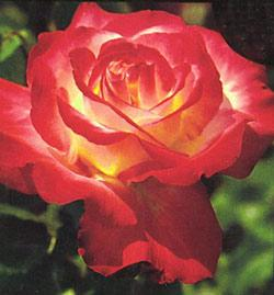 Double Delight Hybrid Tea Rose - 1 bare root plant