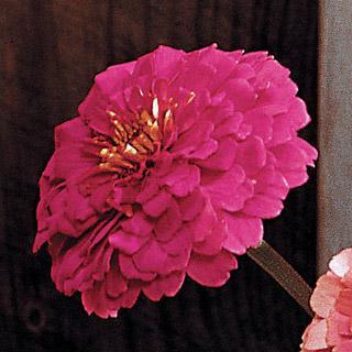 Zinnia Park's Cutting Blend Rose