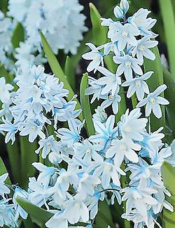 SOLD OUT Striped Squill - 25 bulbs