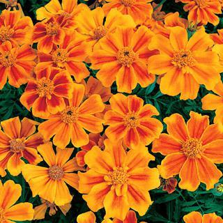 Marigold Sunburst Orange Splash Hybrid