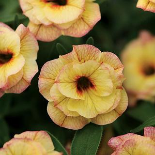 MiniFamous™ Double Rose Chai Calibrachoa Annual Plant