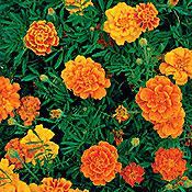 French Brocade Marigold