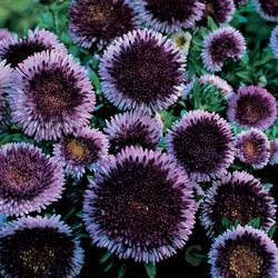 Aster chinensis 'Lilliput Blue Moon'