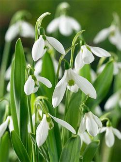 SOLD OUT Giant Snowdrop Galanthus - 10 bulbs