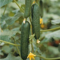 Organic Cucumber Picolino F1 Hybrid