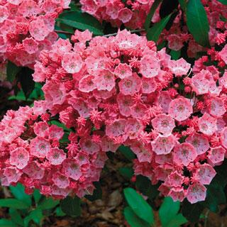 Carol Kalmia latifolia Mountain Laurel Shrub