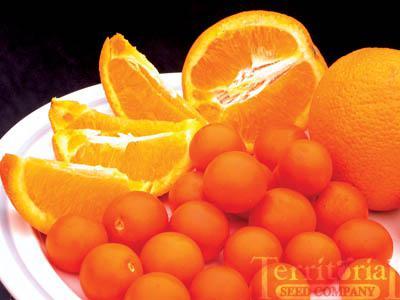 Orange Paruche Tomato