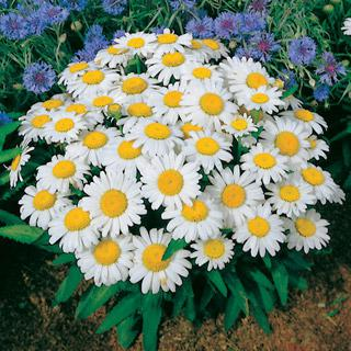 Shasta Daisy 'Snow Lady'