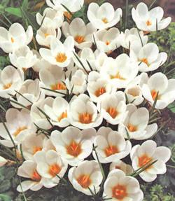 SOLD OUT Ard Schenk Species Crocus - 10 bulbs