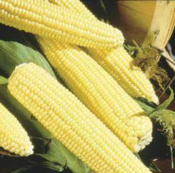 Northern Xtra Sweet Yellow (sh2) Sweet Corn