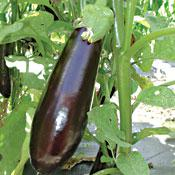 Vittoria Eggplant