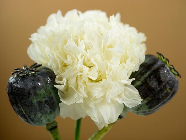 White Cloud Peony-Flowered Poppy
