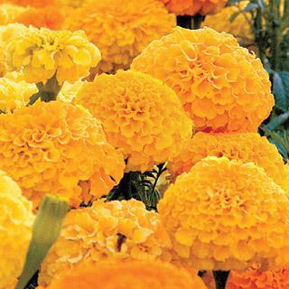 Marigold Park's Whopper Gold