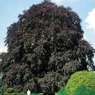 Purpurea Tricolor Fagus sylvatica Beech Tree