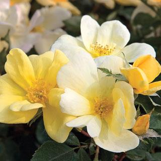 Sunny Knock Out® Yellow-White Rose