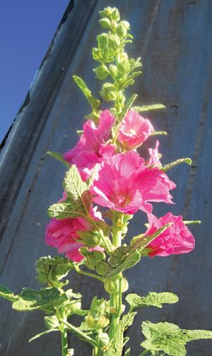 Hollyhock, Old-Fashioned Mix