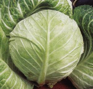 Cabbage, Primo