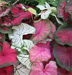 Mixed Fancy Leaved Caladiums - 6 tubers
