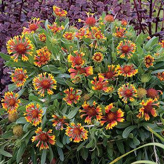 Lucky Wheeler Gaillardia aristata Blanket Flower Plant