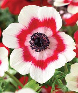 Bicolor Anemone coronaria - 25 bulbs