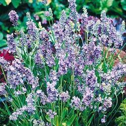 Lavender angustifolia 'Ellagance Sky'