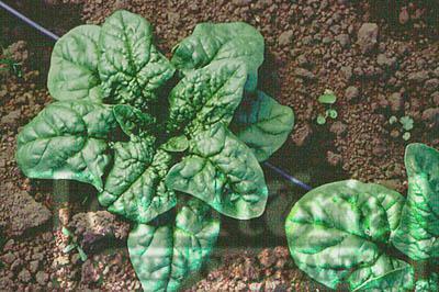 Tyee Spinach Organic